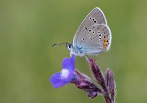 it-butterfly-polyommatus_bellis_antiochena_-_hatayin_cokgozlu_guzelmavisi_30