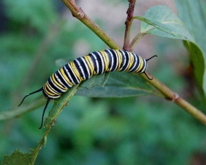 it-transform-0-monarch_butterfly_danaus_plexippus_caterpillar_2000px